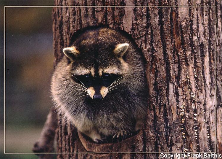 FB 402  Raccoon.  5x7 postcard by Frank Balthis