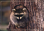 FB 402  Raccoon.  5x7 postcard by Frank Balthis