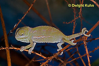 CH47-531z  Veiled Chameleon several day old young, Chamaeleo calyptratus
