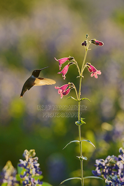 Black-chinned Hummingbird (Archilochus alexandri), adult male feeding on blooming Hill Country penstemon, Scarlet penstemon (Penstemon triflorus), Hill Country, Texas, USA
