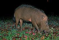 Bearded Pig<br /> Sus barbata<br /> Bako National Park<br /> Sarawak, Borneo