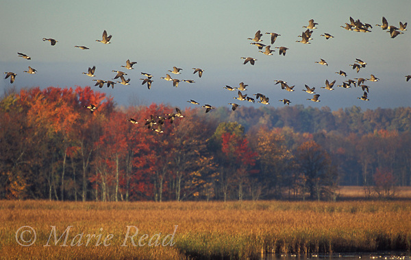 Canada Geese (Branta canadensis) fly over a marsh in autumn., Montezuma National Wildlife Refuge, New York, USA,<br /> Slide # B24-5421