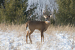 White-tailed buck in the snow