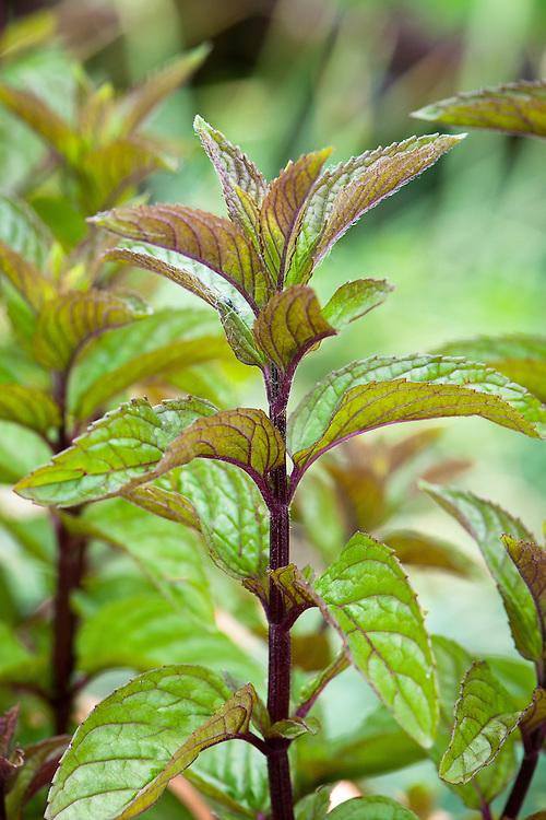 Peppermint (Mentha x piperita syn. Mentha nigricans).