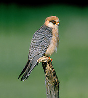 Red-footed Falcon, Female - Falco vespertinus
