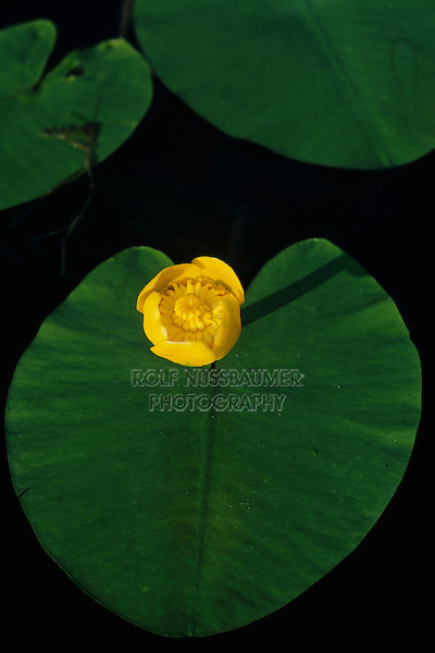 Spatterdock, Nuphar lutea, blooming, Oberaegeri, Switzerland, July 1998