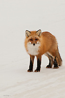 A red fox stops on the ice road to cast a glance in hopes of receiving a handout on the north slope of Alaska.
