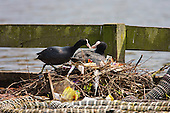 Coot (Fulica atra) With chicks on Nest. Coots aggressively defend their young and territory during the breeding season. In contrast, Coots have also been known to kill their own young, usually the youngest of the brood if they have too many to feed successfully, Lancashire, UK