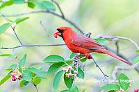 01530-23016 Northern Cardinal (Cardinalis cardinalis) male eating Serviceberry (Amelanchier canadensis) Marion Co. IL