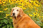 'Gillie' - golden retriever.