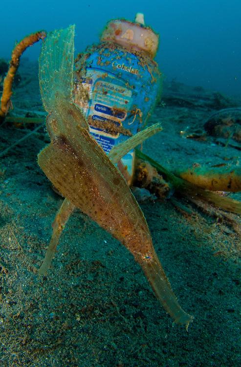 robust ghost pipefish: Solenostomus cyanopterus amongst volcanic sand and rubbish, Gorontalo, Indonesia