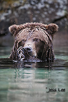 Katmai Alaska Grizzly Photo Grizzly Bear or brown bear alaska Alaska Brown bears also known as Costal Grizzlies or grizzly bears
