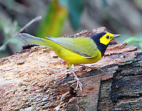 Adult male hooded warbler in fall migration