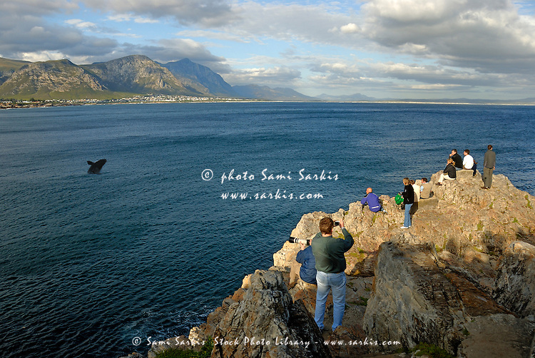 People whale watching Southern right whales breaching (Eubalaena australis) - South Africa, South Western Cape, Hermanus