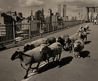 Sheep on Brooklyn Bridge