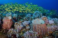A dense school of Bluestripe Snapper, Lutjanus kasmira, hover over pastel soft corals and barrel sponges at Fish Rock, Andaman Islands, India, Andaman Sea