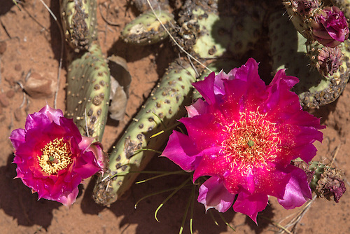 Prickly Pear Cactus flower during spring at Zion National Park, Utah