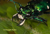 1C35-515z   Six-spotted Green Tiger Beetle - Cirindela sexguttata - close-up of head and jaws, eyes