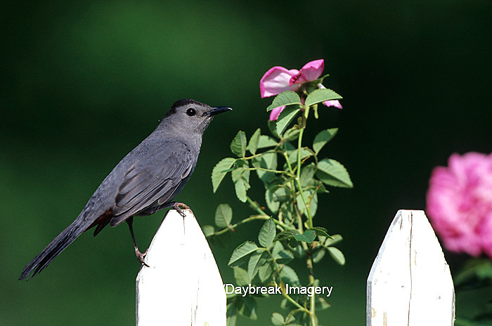 01392-02719 Gray Catbird (Dumetella carolinensis) on picket fence near pink rose bush Marion Co.  IL