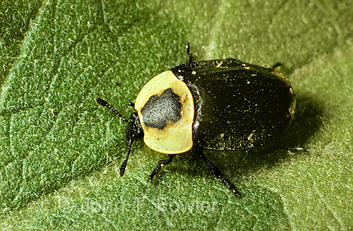 American carrion beetle  Necrophilia americana