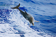 Pantropical Spotted Dolphin calf, jumping out of a boat wake, Stenella attenuata, off Kona Coast, Big Island, Hawaii, Pacific Ocean.