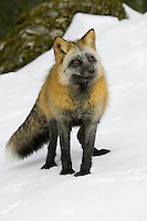 Cross fox standing on a snowy hill - CA