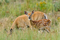 White-tailed Deer doe and fawn (Odocoileus virginianus).  Western U.S., summer.