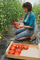 Europe/France/Aquitaine/47/Lot-et-Garonne/Fongrave: Elodie Chauvel, agricultrive en agriculture raisonnée à la Ferme des Tuileries récolte ses tomates du Marmandais Auto N: A12-3008