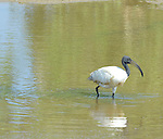 Yala National Park Sri Lanka<br /> Black Headed Ibis