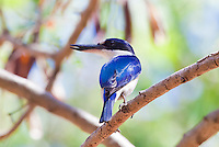 Forest Kingfisher, Lee Point, Darwin, NT, Australia