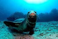 Hawaiian monk seal, ilioholokauaua, Neomonachus schauinslandi, endangered, Gardner Pinnacles, Papahanaumokuakea Marine National Monument, Northwestern Hawaiian Islands, Hawaii, USA, Pacific Ocean
