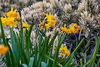 Narcissus, yellow flowering daffodil; Arlington Garden, Pasadena