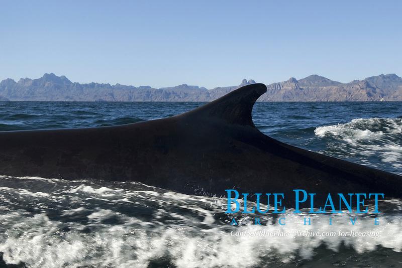 Fin whale ( Balaenoptera physalus ) A fin whale dorsal fin. Mexico, Gulf of California, USA, Pacific Ocean