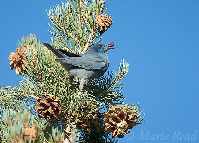 Pinyon Jay(Gymnorhinus  cyanocephalus), feeding on Pinyon Pine seeds, Mono Lake Basin, California, USA
