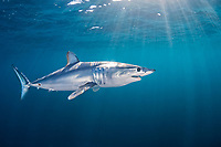 shortfin mako shark, Isurus oxyrinchus, Cape Point, Cape Peninsula, South Africa
