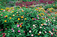63821-09404 Zinnias, Purple Wave Petunias, Lantana, Pincushion Flower in flower garden,   Marion Co.  IL
