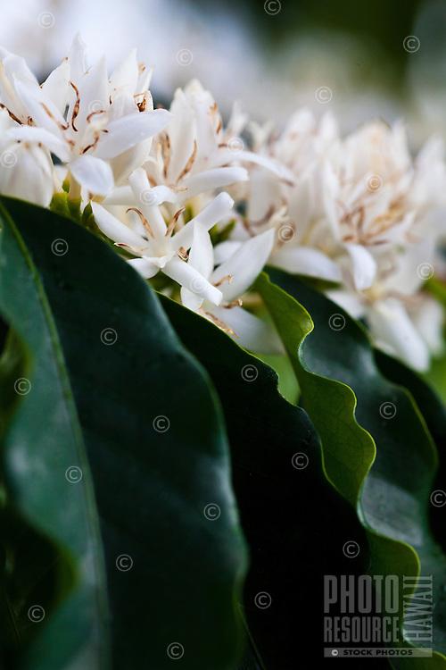 A flowering coffee plant at a coffee plantation on Kona, Big Island