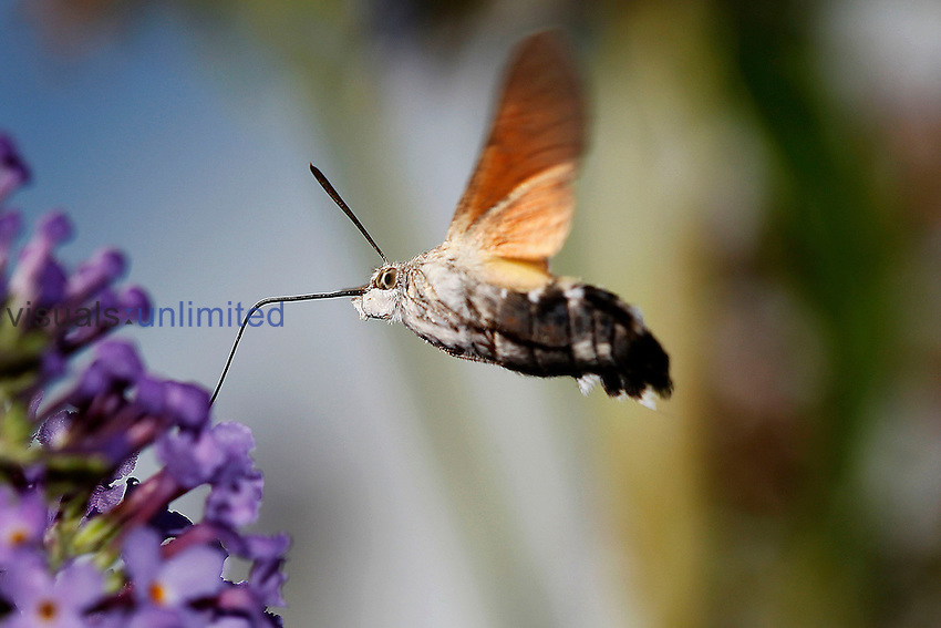 Adult Hummingbird Hawk Moth (Macroglossum stellatarum) feeding on flower while in flight, Normandy, France.