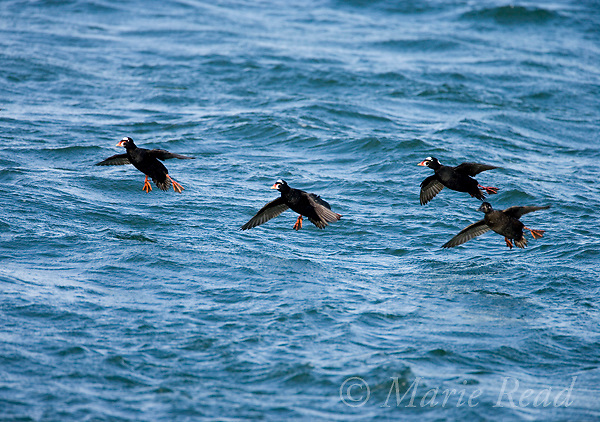 Surf Scoters (Melanitta perspicilllata) three males and female landing on water, Barnegat Inlet, New Jersey, USA