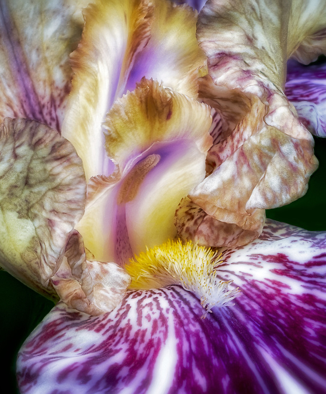 Close up of Gnus Flash Iris..Schreiner's Iris Gardens, Oregon
