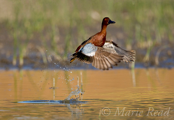 Cinnamon Teal (Anas cyanoptera), male taking flight from water's surface, Orange County, California, USA