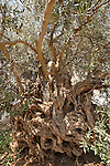 Israel, the Lower Galilee. Olive Tree in Arabe', the most ancient one in the Mediterranean<br />