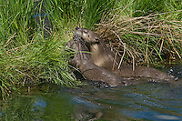 Northern River Otter (Lontra canadensis) mother carries young pup--with her mouth-- to grassy log.  Western U.S., summer..