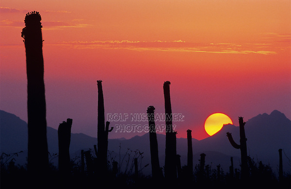 Saguaro Cactus (Carnegiea gigantea), Sunset, Saguaro National Park, Tucson, Arizona, USA