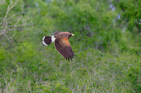 541950103 a wild harris hawk parabuteo unicinctus in flight over santa clara ranch starr county texas