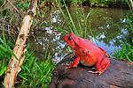 Tomato Frog (Dyscophus antongilii), Maroantsetra,  Madagascar.