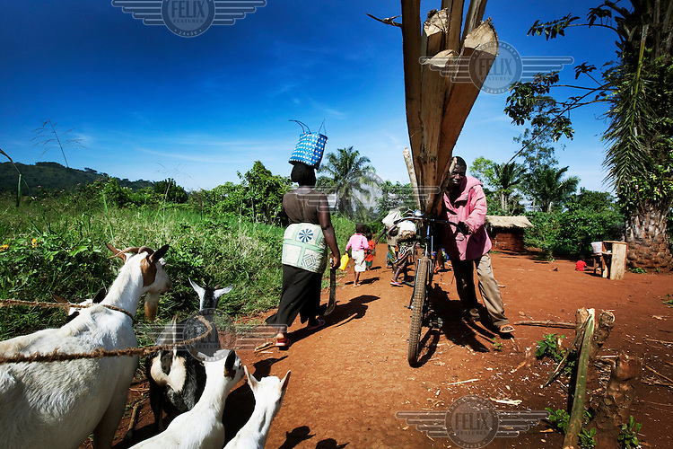 A man pushing a bicycle loaded with wood passes a woman leading her goats to graze.