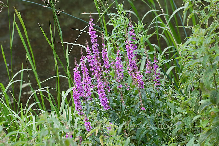 Blutweiderich, Blut-Weiderich, Lythrum salicaria, Purple Loosestrife, Spiked Loosestrife, Salicaire