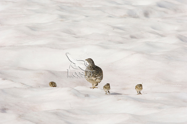 White-tailed Ptarmigans (Lagopus leucurus)--hen with chicks crossing late melting snow patch.  Mount Rainier National Park, WA.  Summer.