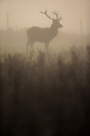 02/11/15<br /> <br /> A stag stands serenely as the early morning sun begins to burn-off thick fog on Calton Moor near Ashbourne in the Derbyshire Peak District.<br /> <br /> All Rights Reserved: F Stop Press Ltd. +44(0)1335 418365   www.fstoppress.com.